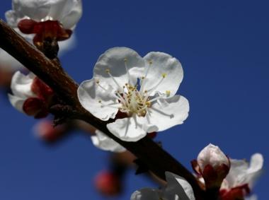 apricot blossom, March 2007