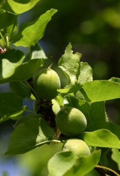 apricot fruitlet