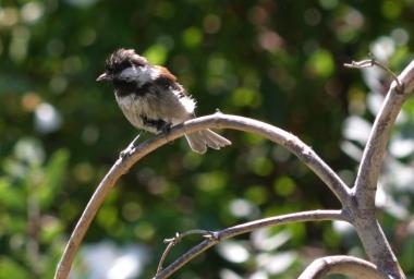 Chestnut-backed chickadee taking a bath