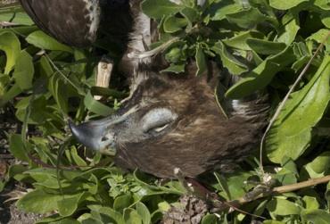 dead hawk