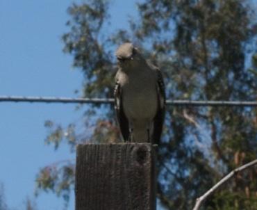 Mockingbird baroo
