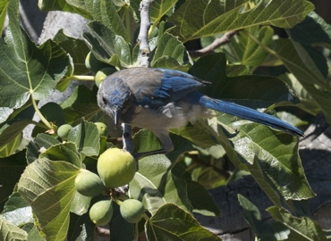 scrowlie jay in fig tree
