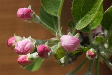 apple braeburn blossom buds